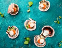 Raw opened shellfish scallops on turquoise background. Top view. Seafood concept.  Royalty Free Stock Image