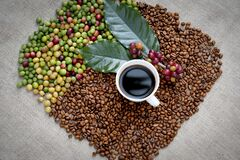 Free Raw Or Ripe Red Branch Of Arabica And Robusta And Organic Coffee Berries Beans On Tree. Farmer Crop Fruit At Farm In Java. Coffee Royalty Free Stock Photo - 209159385