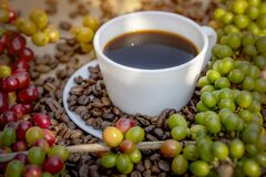 Free Raw Or Ripe Red Branch Of Arabica And Robusta And Organic Coffee Berries Beans On Tree. Farmer Crop Fruit At Farm In Java. Coffee Stock Photography - 209250982