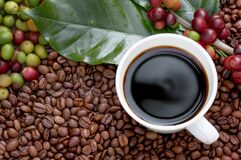 Free Raw Or Ripe Red Branch Of Arabica And Robusta And Organic Coffee Berries Beans On Tree. Farmer Crop Fruit At Farm In Java. Coffee Royalty Free Stock Photos - 209250998