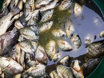 Raw Oreochromis niloticus fish Stock Photo