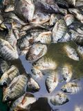 Raw Oreochromis niloticus fish Royalty Free Stock Photography