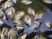 Raw Oreochromis niloticus fish Royalty Free Stock Image