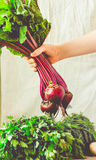 Raw organic beetroot with leaves in a hand. Autumn vegetable.Ton Royalty Free Stock Photography