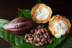 Raw organic cacao beans. On dark wood table stock image