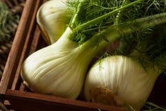 Raw Organic Fennel Bulbs Royalty Free Stock Photo