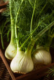 Raw Organic Fennel Bulbs. Ready to Cook Stock Photos