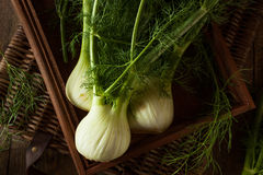 Raw Organic Fennel Bulbs. Ready to Cook Stock Photography