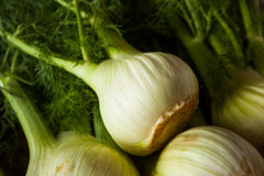 Raw Organic Fennel Bulbs. Ready to Cook Royalty Free Stock Image