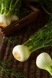 Raw Organic Fennel Bulbs. Ready to Cook Stock Photo