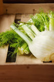 Raw Organic Fennel Bulbs Ready to cooking. wooden box Royalty Free Stock Photography