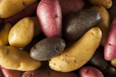 Raw organic fingerling potato medley Royalty Free Stock Photography