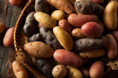 Raw Organic Fingerling Potatoes Royalty Free Stock Image