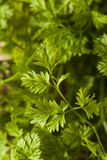 Raw Organic French Parsley Chervil Royalty Free Stock Photography