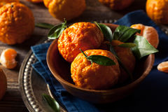 Raw Organic Gold Nugget Mandarin Oranges. Ready to Eat Stock Images