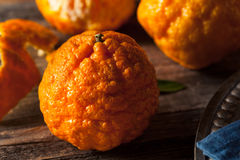 Raw Organic Gold Nugget Mandarin Oranges. Ready to Eat Royalty Free Stock Images