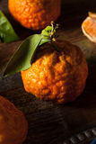 Raw Organic Gold Nugget Mandarin Oranges. Ready to Eat Stock Image