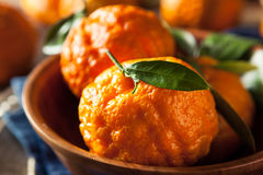 Raw Organic Gold Nugget Mandarin Oranges. Ready to Eat Stock Photography