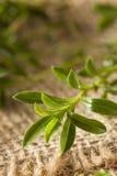 Raw Organic Green Savory Stock Images