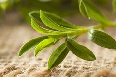 Raw Organic Green Savory Royalty Free Stock Image
