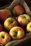 Raw Organic Honeycrisp Apples. Ready to Eat Royalty Free Stock Photo