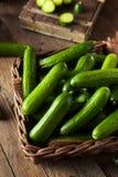 Raw Organic Mini Baby Cucumbers Stock Photo