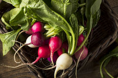 Raw Organic Muli Colored Easter Radishes. In a Bunch Royalty Free Stock Image
