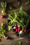 Raw Organic Muli Colored Easter Radishes. In a Bunch Royalty Free Stock Photo