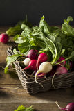 Raw Organic Muli Colored Easter Radishes. In a Bunch Stock Photos