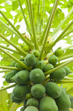 Raw Organic Papaya Stock Photo