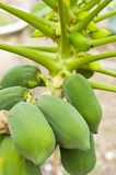 Raw Organic Papaya Royalty Free Stock Images