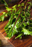 Raw Organic Red Dandelion Greens. Ready to Chop royalty free stock photos