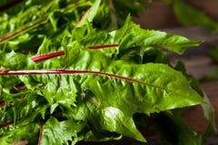 Raw Organic Red Dandelion Greens. Ready to Chop Royalty Free Stock Photo