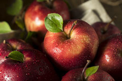 Raw Organic Red Delicious Apples. Ready to Eat Royalty Free Stock Images