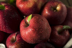 Raw Organic Red Delicious Apples. Ready to Eat Royalty Free Stock Image