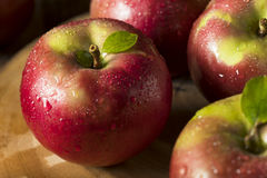 Raw Organic Red Mcintosh Apples. Ready for Eating Stock Photo