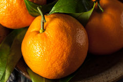 Raw Organic Satsuma Oranges. With Green Leaves Stock Images