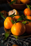 Raw Organic Satsuma Oranges. With Green Leaves Royalty Free Stock Images