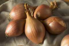Raw Organic Shallot Onions. Ready to Use stock photo