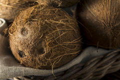 Raw Organic Tropical Brown Coconuts. Ready to Open Stock Image