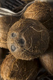 Raw Organic Tropical Brown Coconuts Royalty Free Stock Image