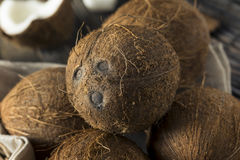 Raw Organic Tropical Brown Coconuts. Ready to Open Royalty Free Stock Image
