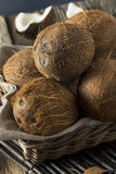 Raw Organic Tropical Brown Coconuts. Ready to Open Stock Photos