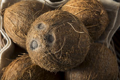 Raw Organic Tropical Brown Coconuts. Ready to Open Stock Photography