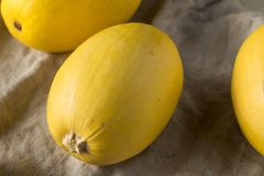 Raw Organic Yellow Spaghetti Winter Squash. Ready to Cook stock images