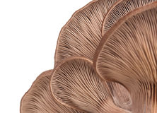 Raw oyster mushrooms Royalty Free Stock Images