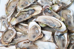 Raw oysters bed Royalty Free Stock Image