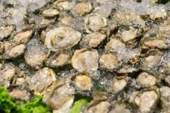 Raw oysters Fresh food on ice, Selective focus. Raw oysters, Fresh food on ice. Selective focus Stock Photos