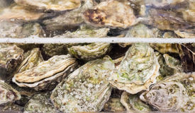 Raw oysters in the water. For background Stock Photo