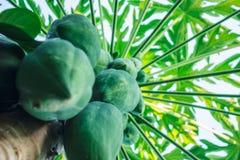 Raw papaya. Closeup raw papaya on the tree Stock Photo